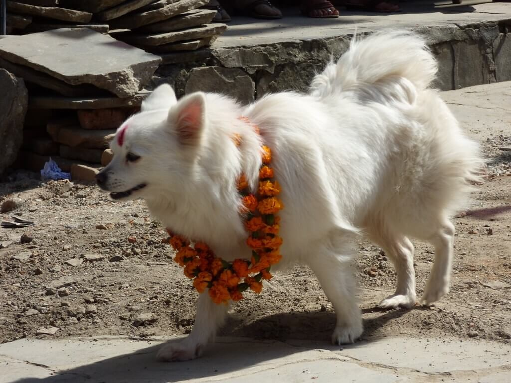 Dog worshipping festival in Nepal