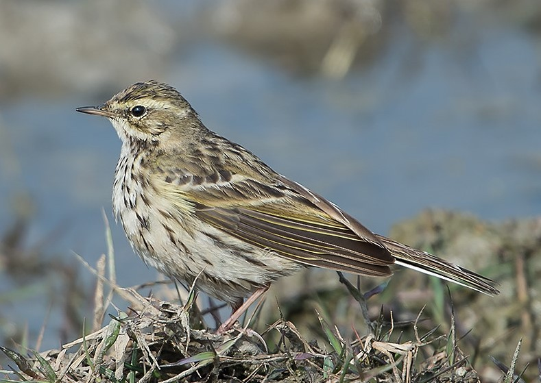Rosy Pipit Langtang